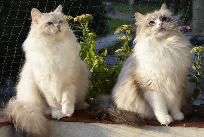 Dwie kotki Neva Masquerade