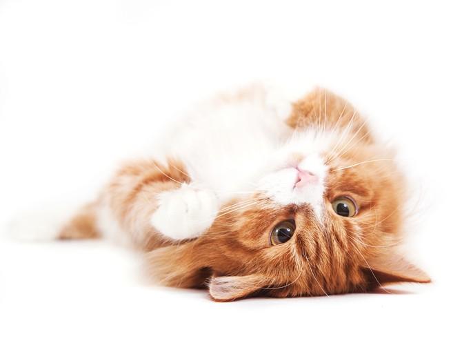 Syberyjskie koty – kotka i kocur