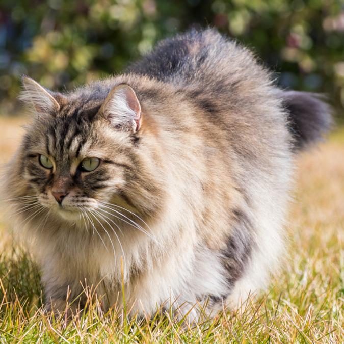 Kot syberyjski na łące