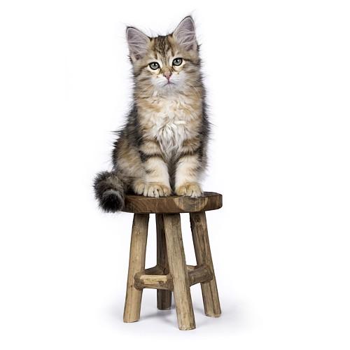 Syberyjskie kocię na stołku