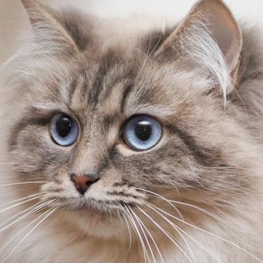 Koty Syberyjskie Klasyczne I Neva Masquerade Hodowla Nowa Era