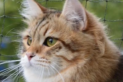 Syberyjska kotka Ballerina