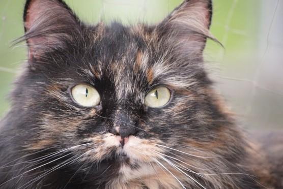 Syberyjska kotka Berta