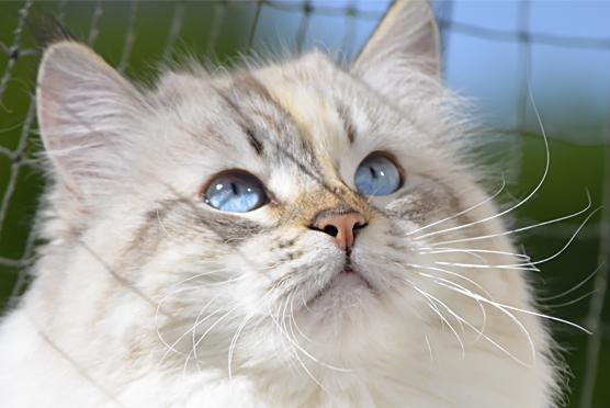 Syberyjska kotka Caffe