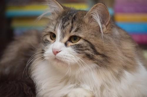 Syberyjska kotka Clicquot