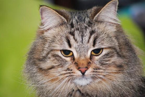 Syberyjska kotka Esterka