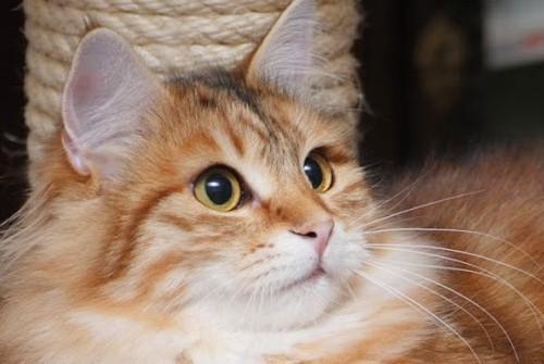 Syberyjska kotka Janel