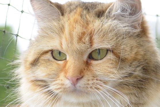 Syberyjska kotka Magalie