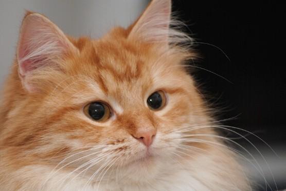 Syberyjska kotka Naomi