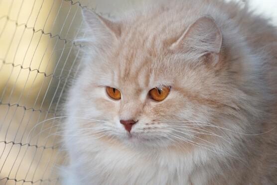 Syberyjska kotka Odissi