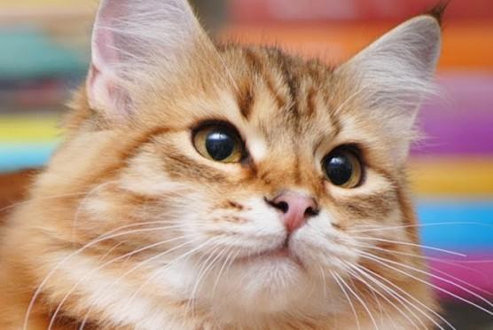 Syberyjska kotka Queen Cleopatra