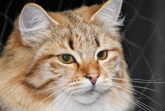 Syberyjska kotka Wenus