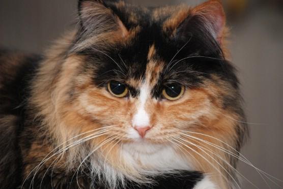 Syberyjska kotka Zatejka
