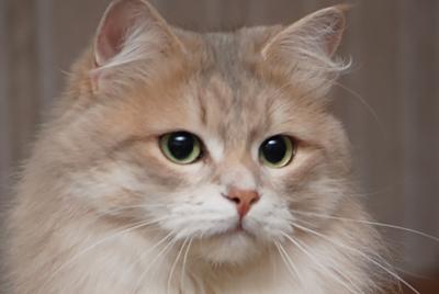 Syberyjska kotka Zimushka