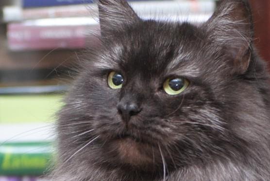 Syberyjska kotka Jamajka