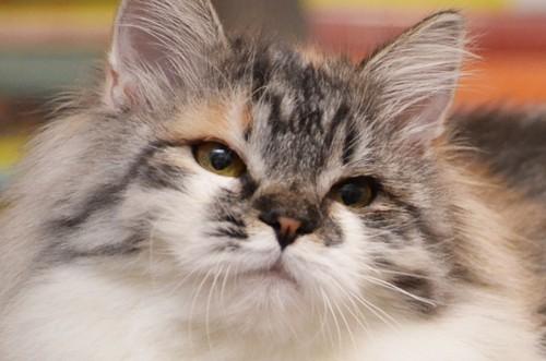 Syberyjska kotka Tuluza