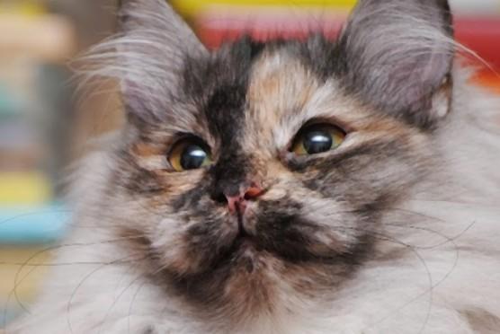 Syberyjska kotka Zambezi